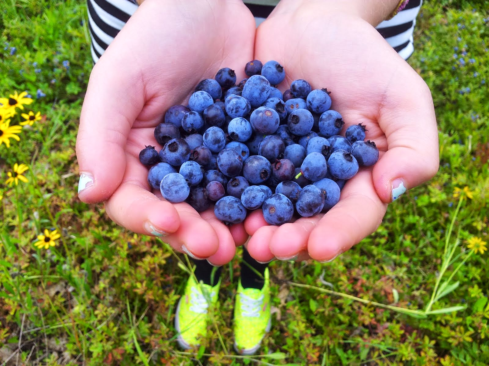 U-Pick Wild Maine Blueberries