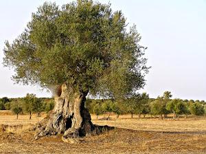 Pokok Zaitun