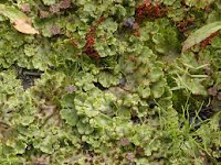 common umbrella liverwort - marchantia polymorpha