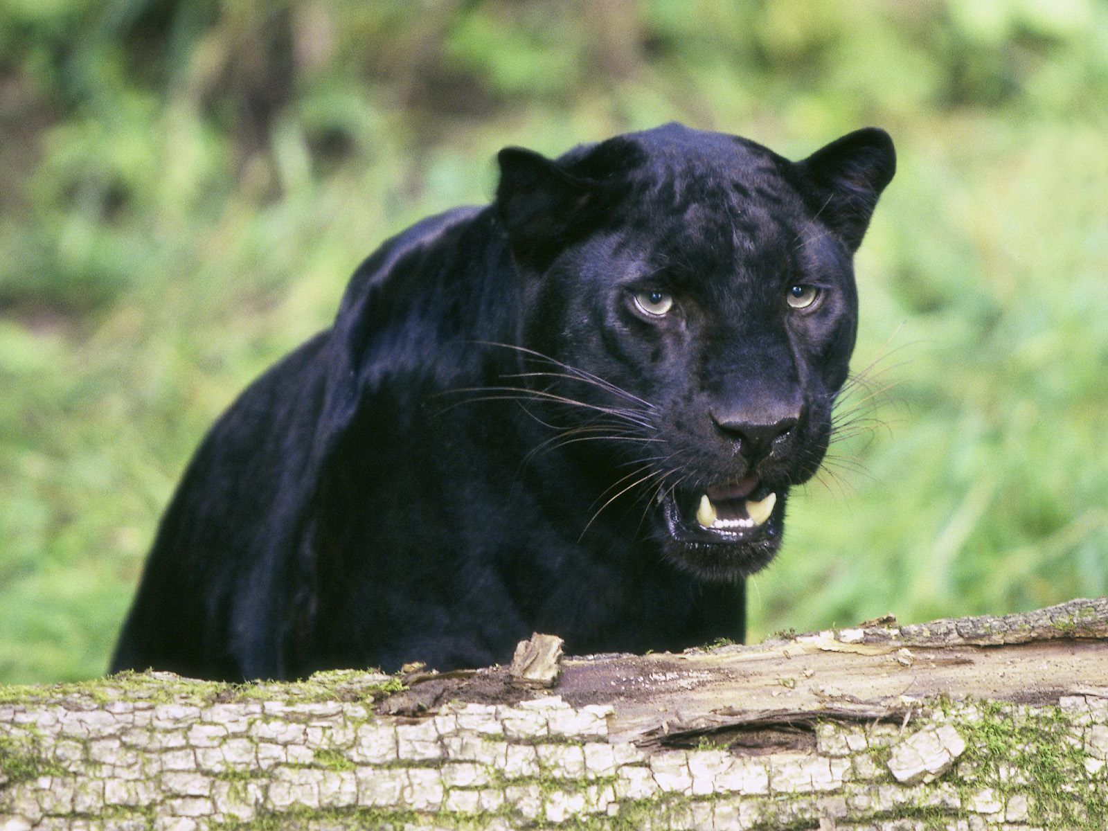 black leopard backgrounds - photo #32