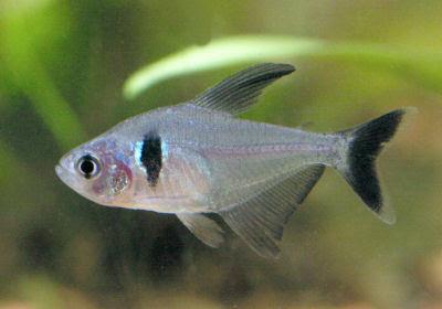 Shamudra Bilash Tetra Fish