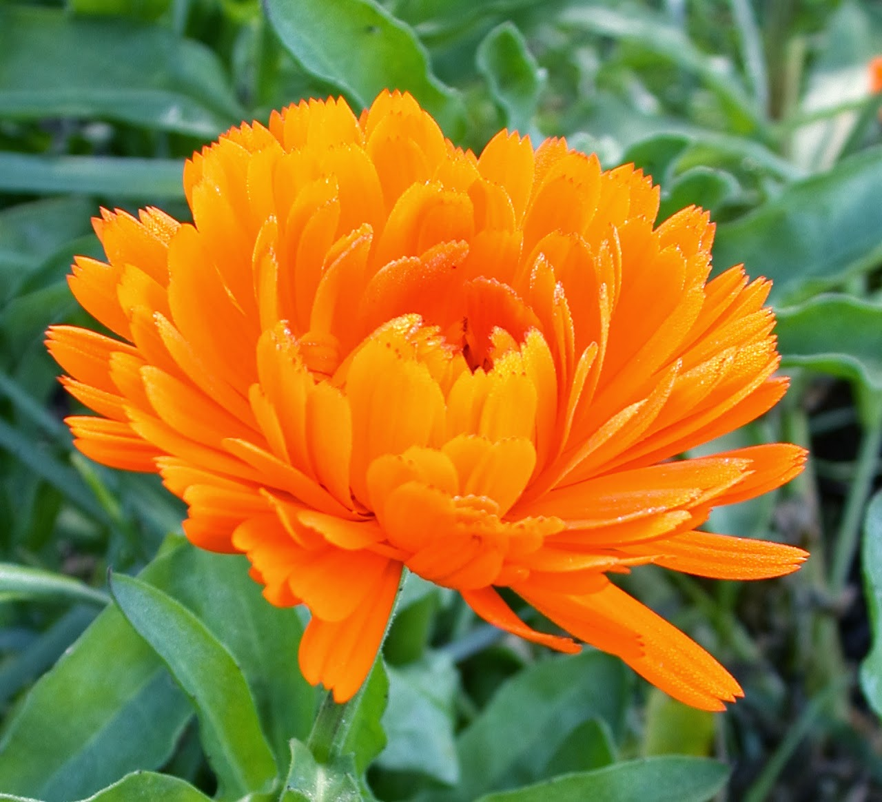 honey bee holistics calendula have you met this bright yellow orange beauty. Black Bedroom Furniture Sets. Home Design Ideas