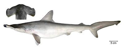 tiburon martillo liso Sphyrna zygaena