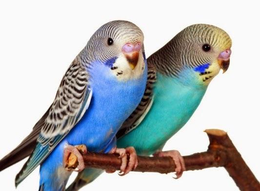 Foto Burung Parkit Holland Jantan