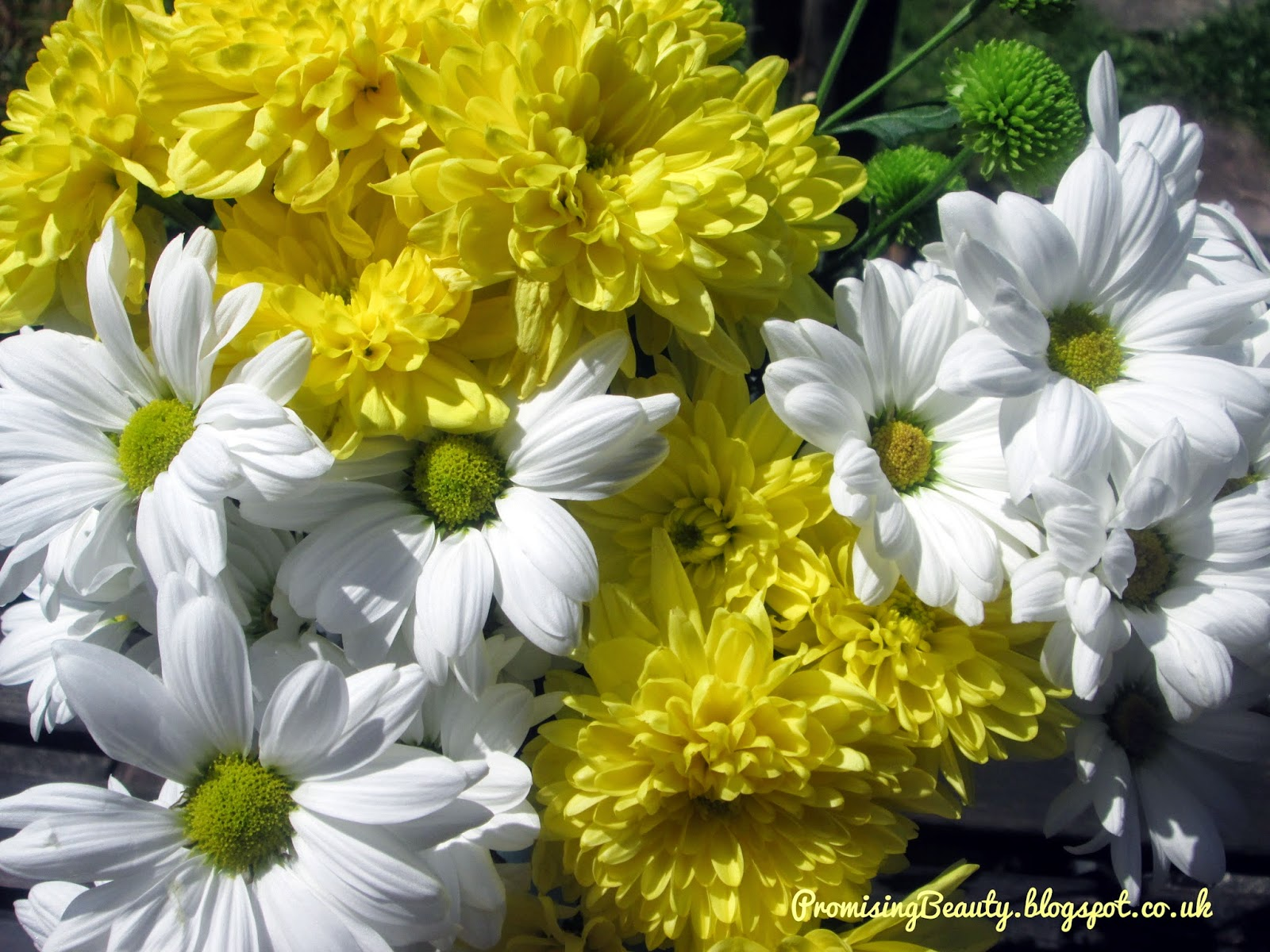 Springtime flowers, yellow chrysanthemums, and white daisies in the sunshine. Happy, gorgeous flowers!