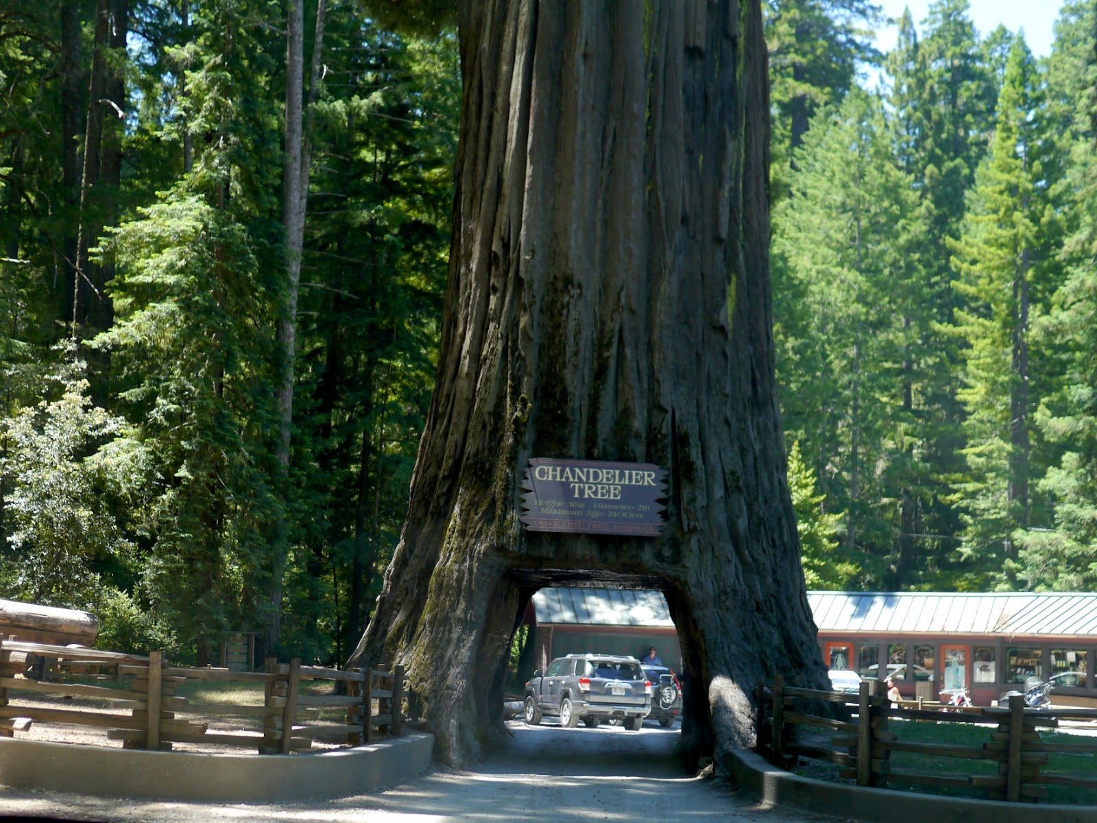 Little hiccups redwoods day trip approaching the chandelier tree on our first drive through it arubaitofo Gallery