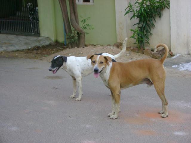 Street Dogs Chennai