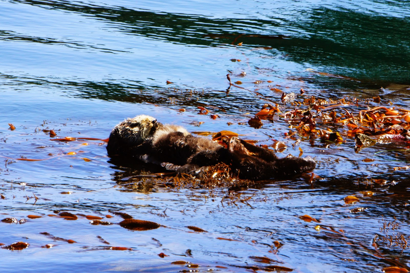 Otter at Whalers Cove Point Lobos State Reserve