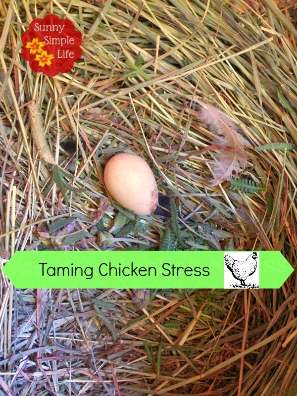 using lavender and herbs to calm chickens