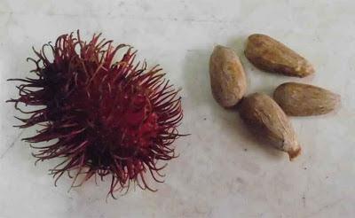 manfaat biji buah rambutan yang bisa menyembuhkan penyakit diabetes