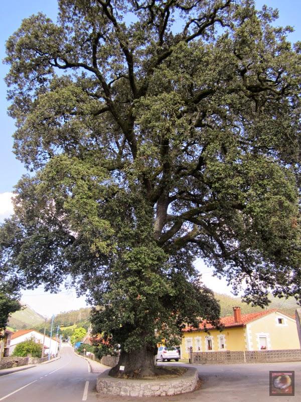 Encina de Mata en San Felices de Buelna (Cantabria)