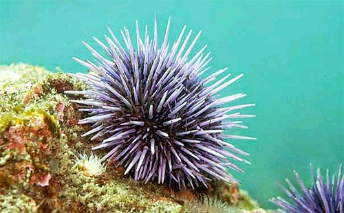 Vietnamese Sea Urchins