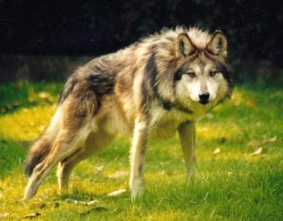 Lobo alerta