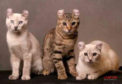 القطط النادرة، عالم عجيب، أغلى القطط