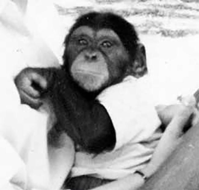 historia de washoe chimpance