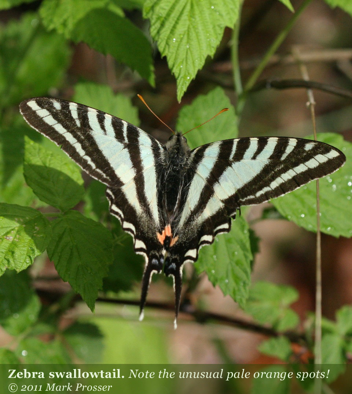 Zebra Swallowtail CaterpillarZebra Swallowtail Caterpillar