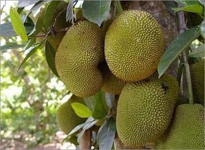 Frutas exóticas y bellas - Árbol de Jack