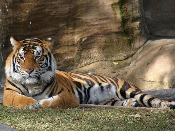 gambar harimau - gambar harimau sumatera
