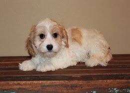 Home Tips Find Cavachon Puppies For Sale In Mn