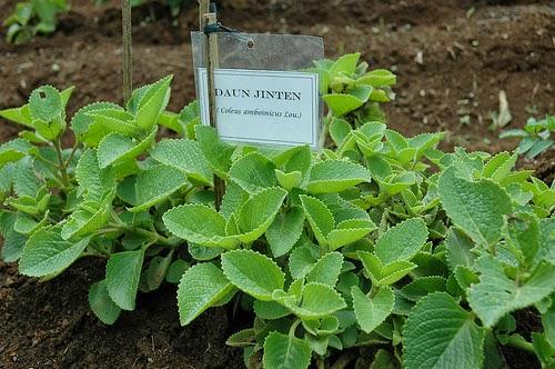 Daun Jinten Herbal Alami untuk Atasi Masalah Sariawan