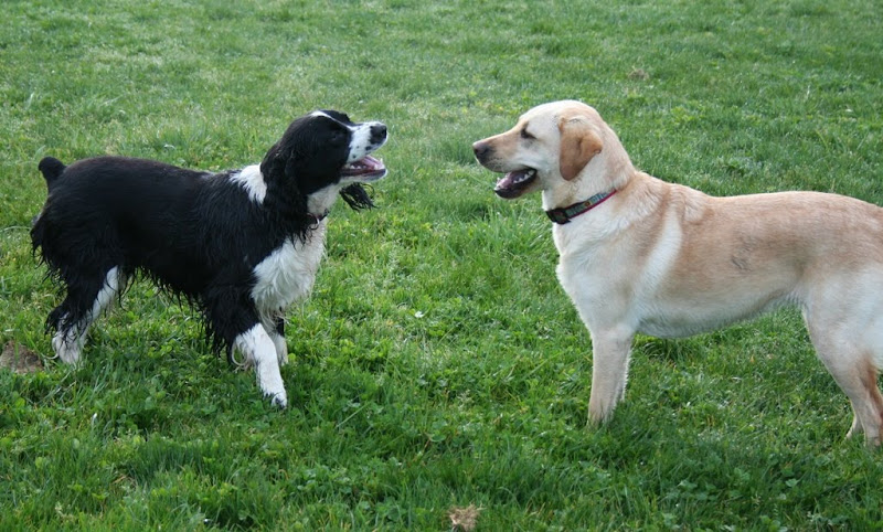cabana and black and white spaniel maggie looking at each other in a big field, face to face, both dogs have mouths open in a big laughing smile