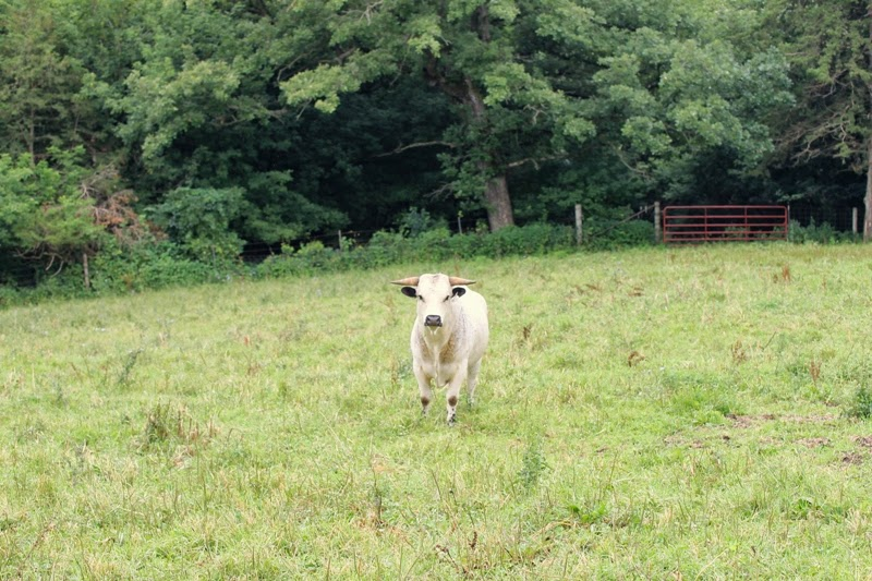 Ancient White Park bull watches me closely at Seed Savers Exchange, Decorah, Iowa