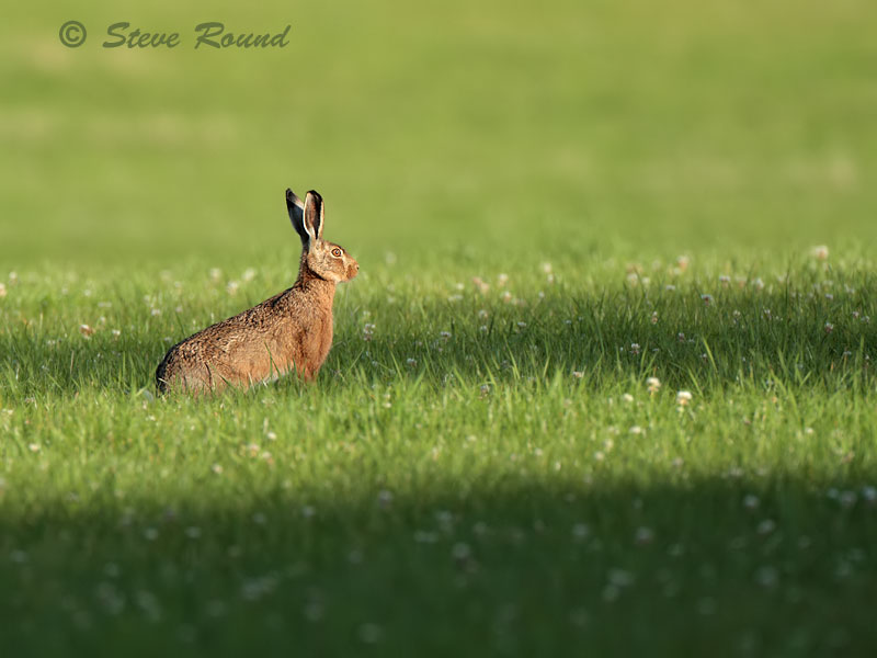 brown hare, nature, wildlife, mammal, animal