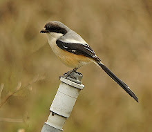 Long-tailed Shrike_2011