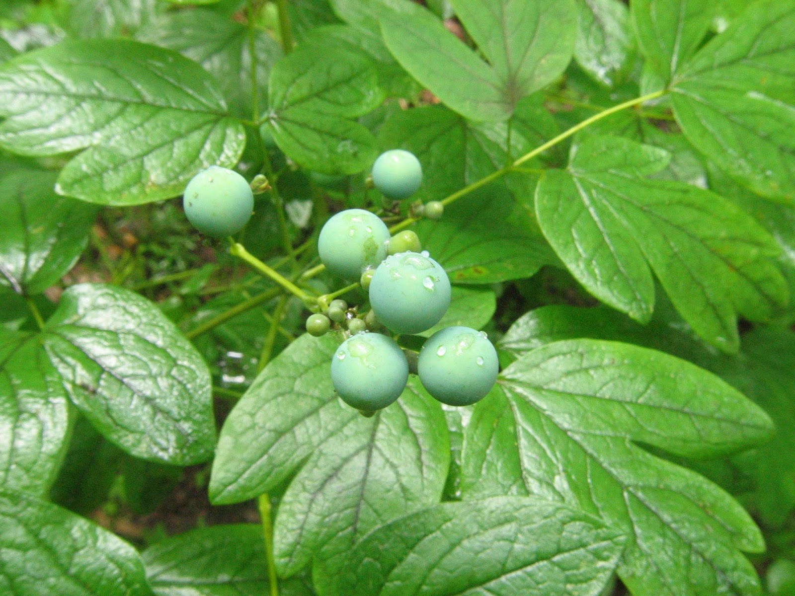 Blue cohosh root breast cancer