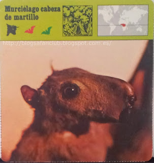 Blog Safari Club, el Muciélago cabeza de martillo, posee una cabeza parecida a la del Caballo