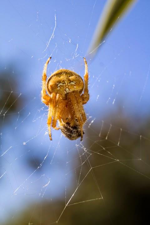 Fotografía de la parte posterior de la araña
