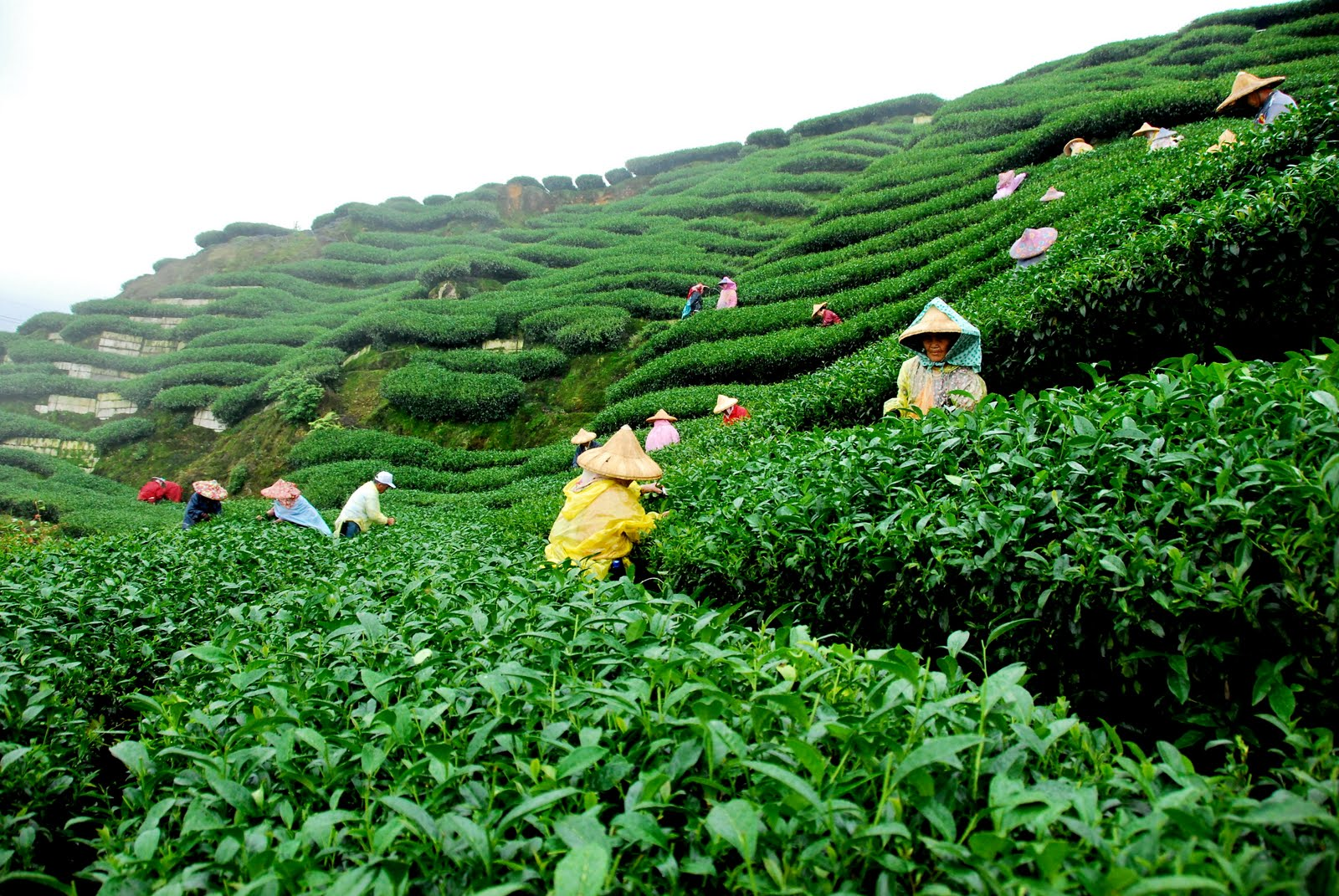 Beautiful Green Tea Gardens Hd Wallpapers Hd Nature
