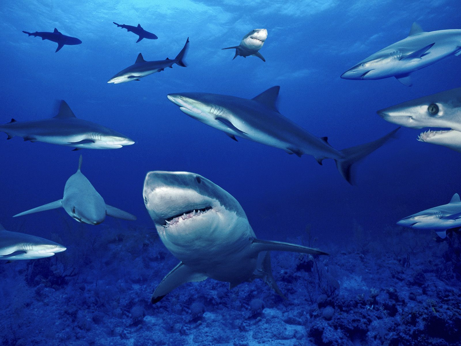beautiful wallpapers shark desktop wallpaper