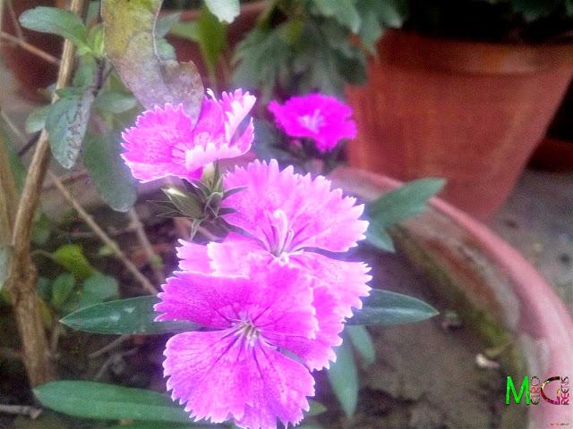 Dianthus Blooms