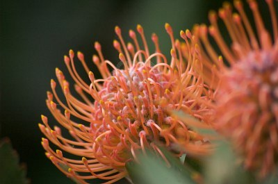Pincushion Flowers on Pincushion Protea Flower