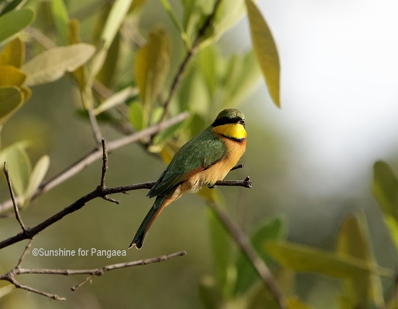 Little Bee-eater (Merops pusillus) in Gambia
