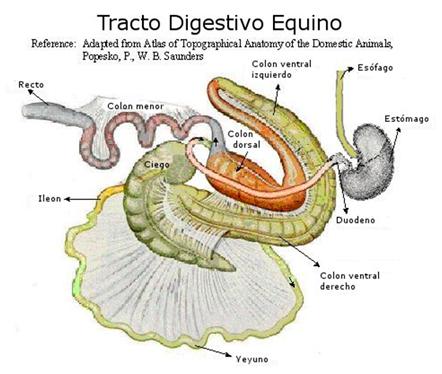 Fisiología del Sistema Digestivo Monogástrico