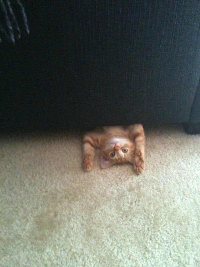 funny cat pictures, cat under the couch