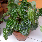 Anthurium kuping gajah