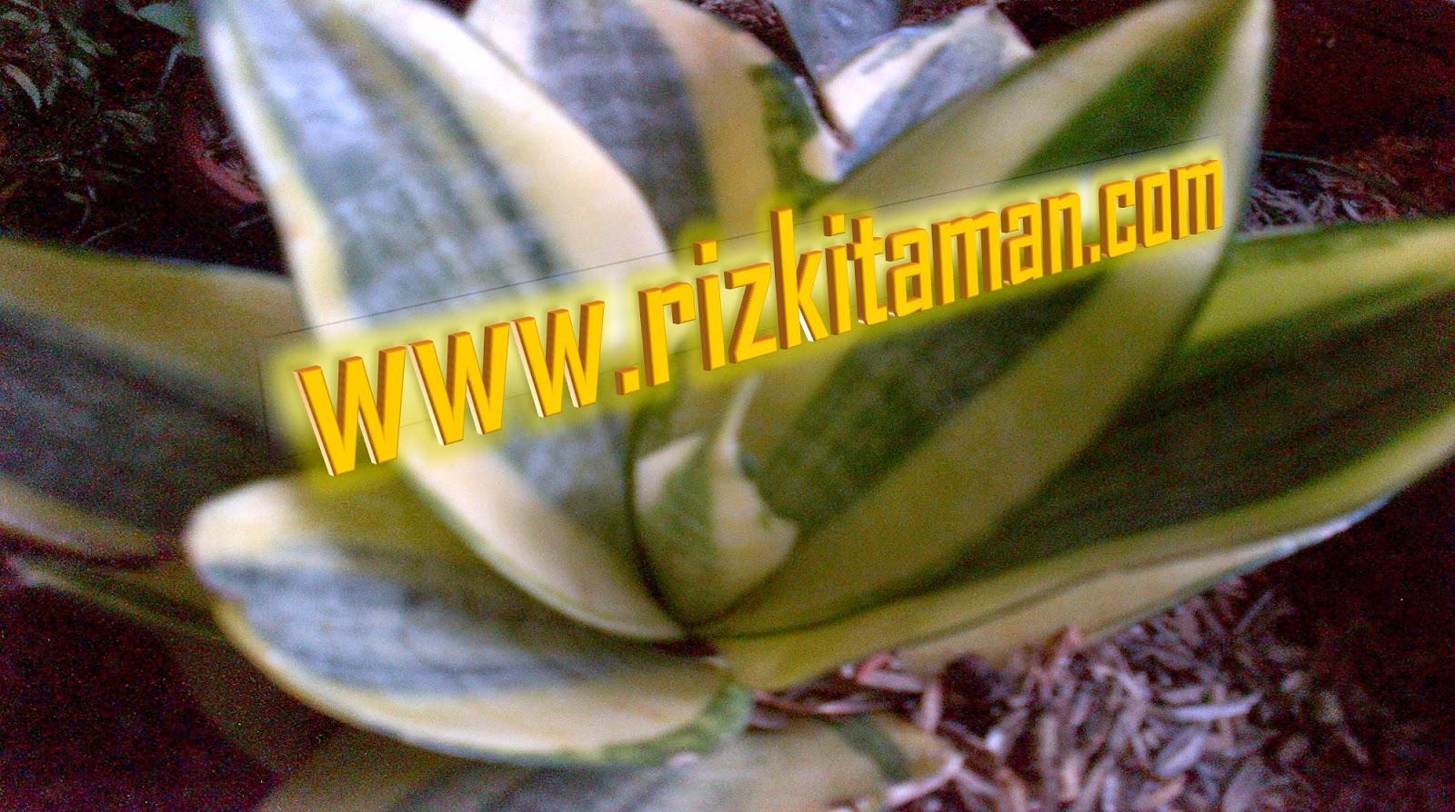 Jual sansevieria gldn hahni | solusi pertamanan | suplier tanaman dan rumput