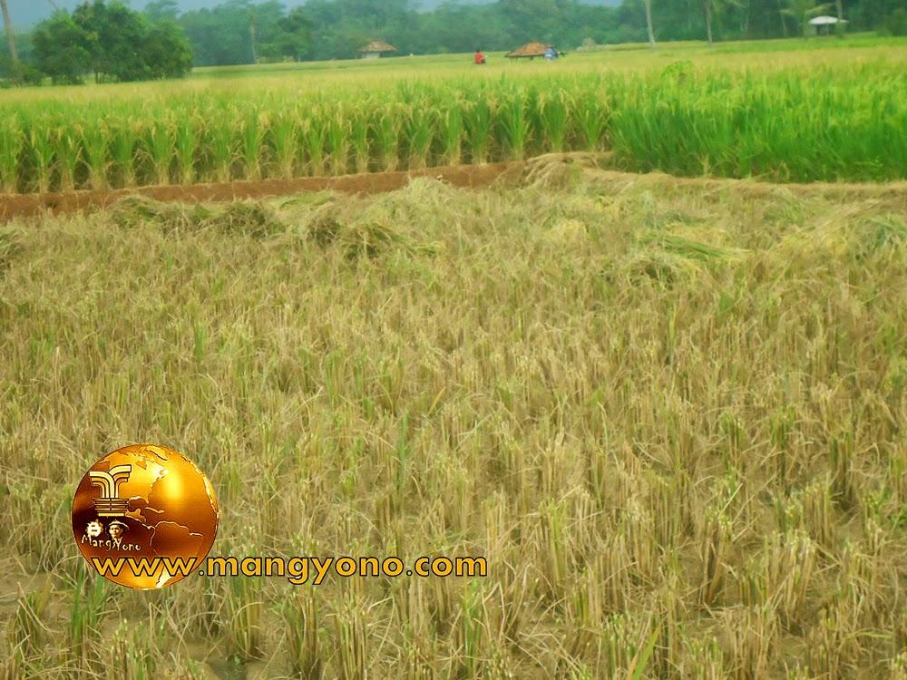 FOTO : Panen padi di sawah admin.