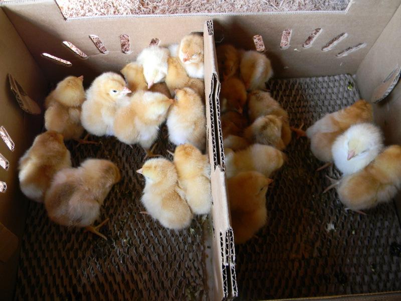 Cornish Cross Chicken Cornish Cross Knows