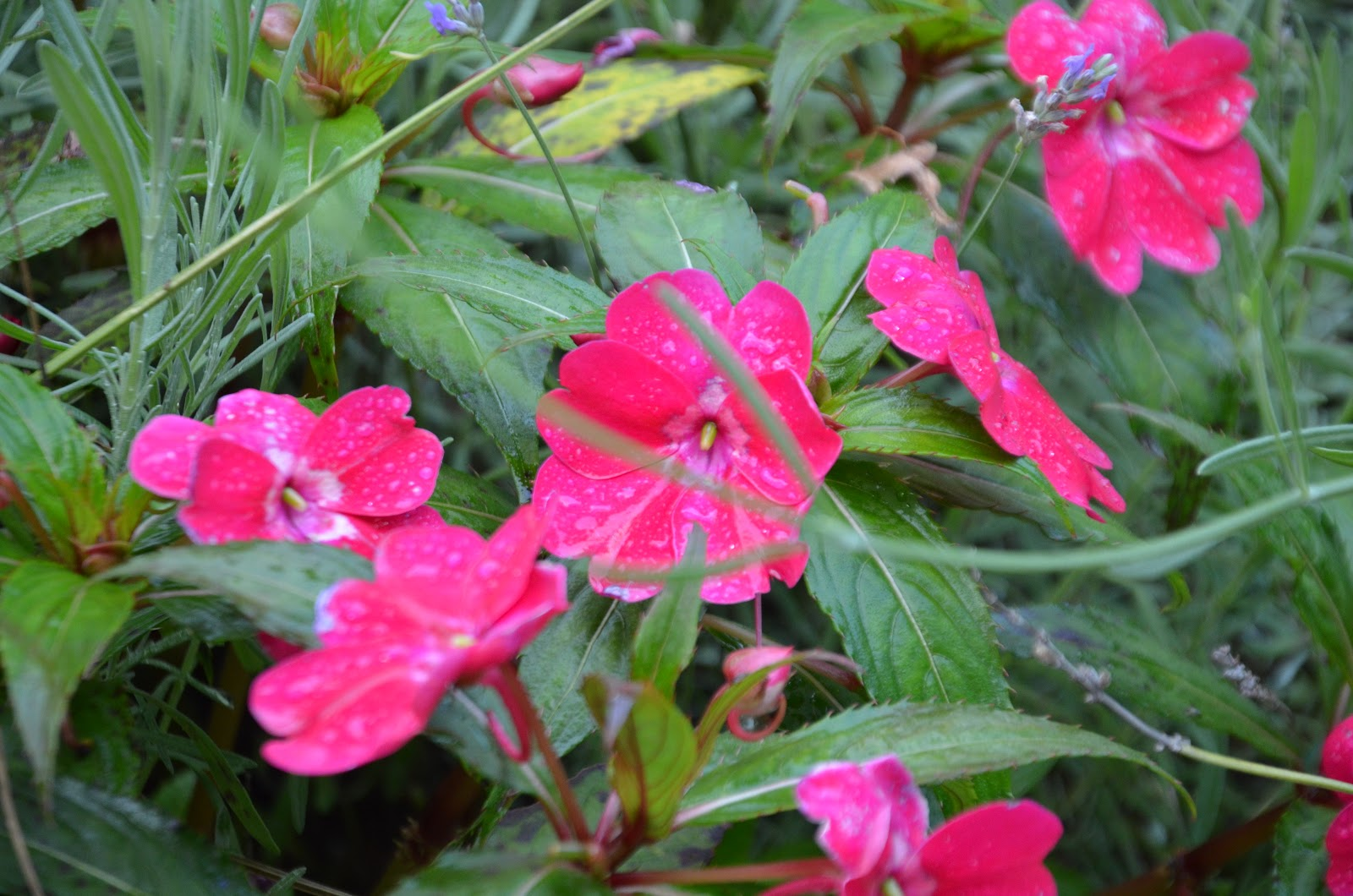 Zone Five and a Half Bye Bye Busy Lizzies What to Plant Instead of Impatiens