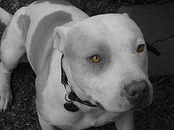 Pitbull terrier americano (APBT)