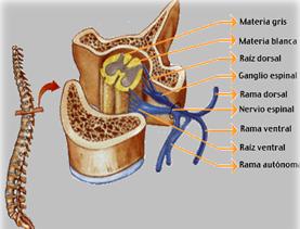 Resultado de imagen de Formación del nervio espinal a partir de las raíces dorsal y ventral