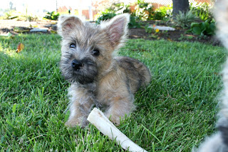 Cairn Terrier Puppy Picture