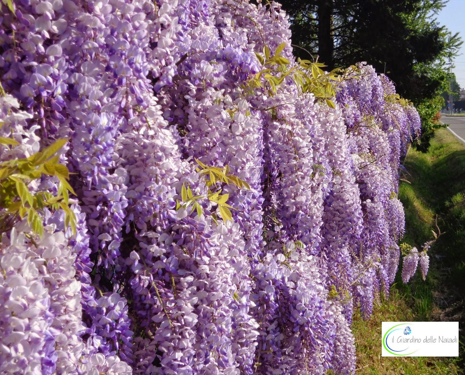 Il giardino delle naiadi glicine pericolosa bellezza for Fiori a grappolo