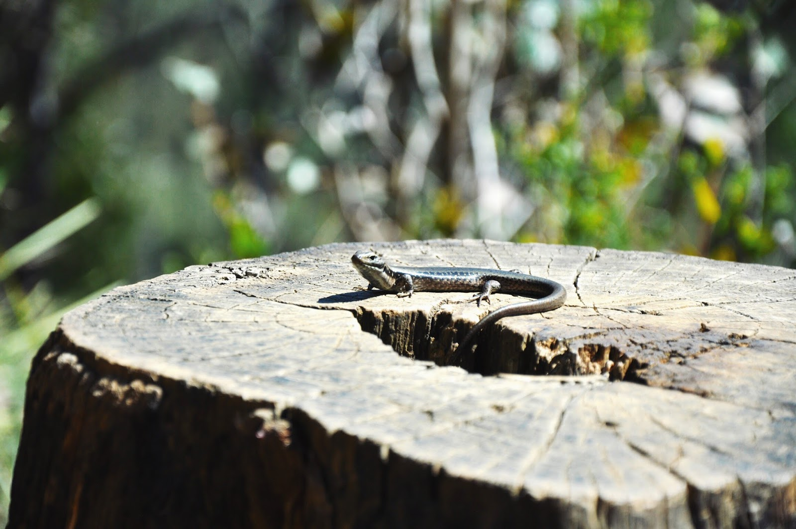 hiking reptile