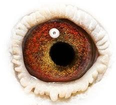 El ojo de un excelente macho reproductor.