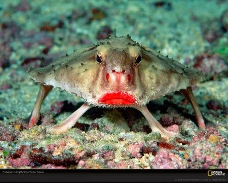 Ikan Kelelawar Bibir Merah